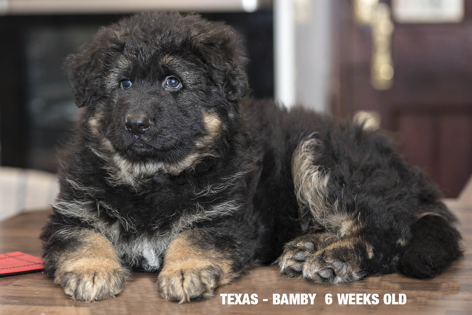 Texas Bamby Female Puppy 6 weeks old